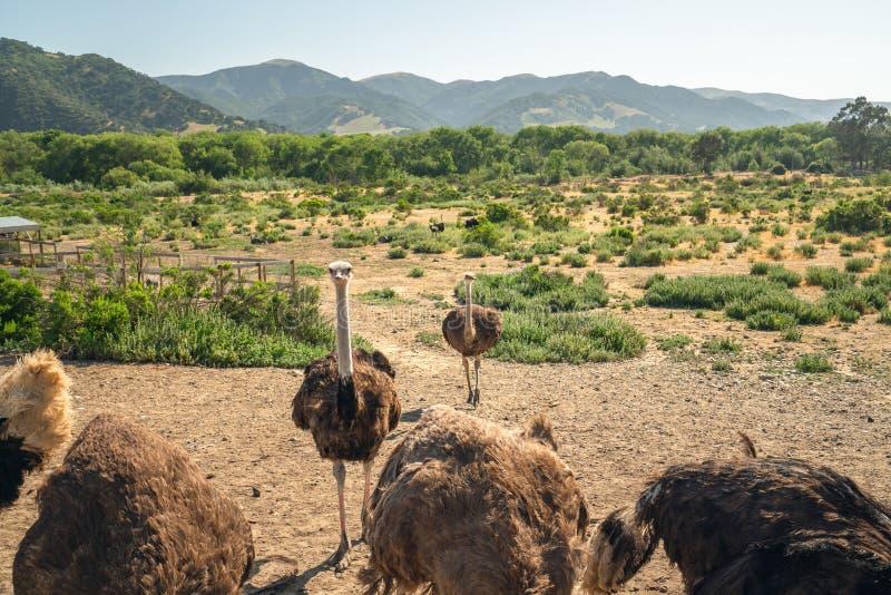 Идя страусы Ферма страуса, Калифорния стоковое фото rf