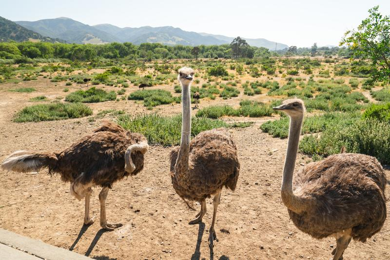 Идя страусы, ферма страуса, Калифорния стоковые изображения rf