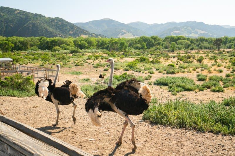 Идя страусы, ферма страуса, Калифорния стоковое фото rf