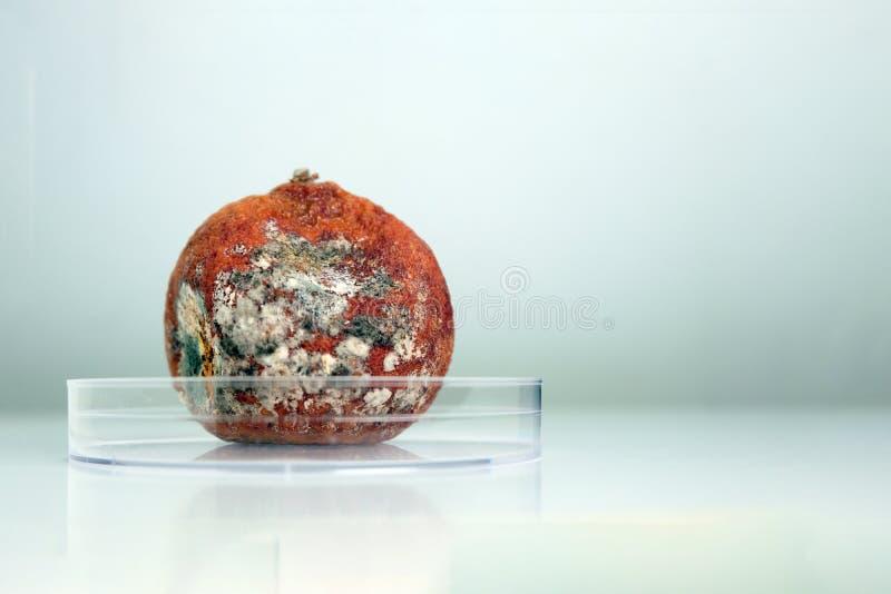 Избалованный tangerine предусматриванный с лож прессформы в прозрачной чашке Петри r Медицинское исследование или анализ лаборато стоковая фотография