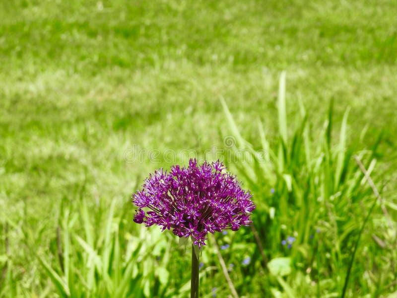 Избирательная закрытая съемка изолированного пурпурного гиацинта в травяном поле стоковая фотография