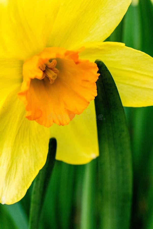 Избирательная Фотография Жёлтого Дафодила Цветка стоковое фото