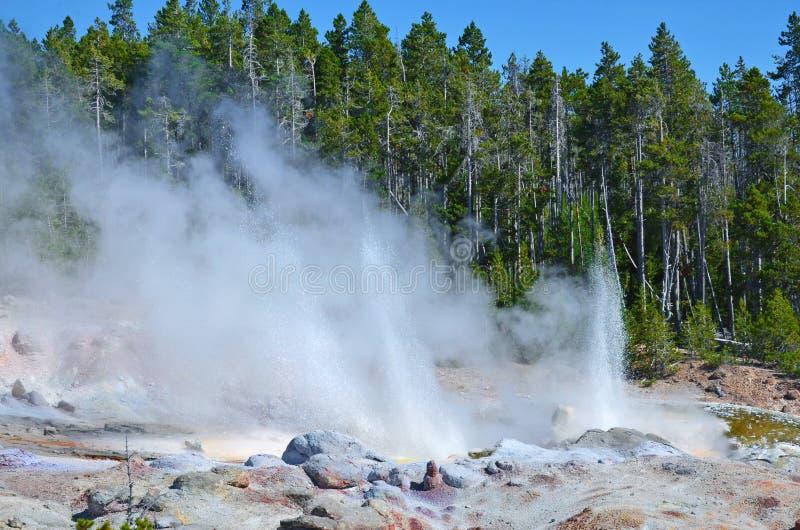 Извергать гейзер в Йеллоустоне, Вайоминг стоковые фотографии rf