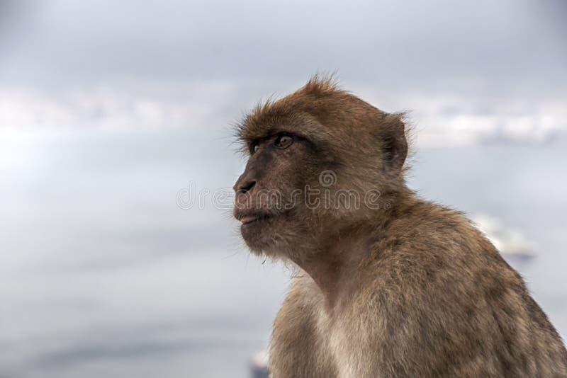 Известная обезьяна утеса Гибралтара стоковая фотография rf