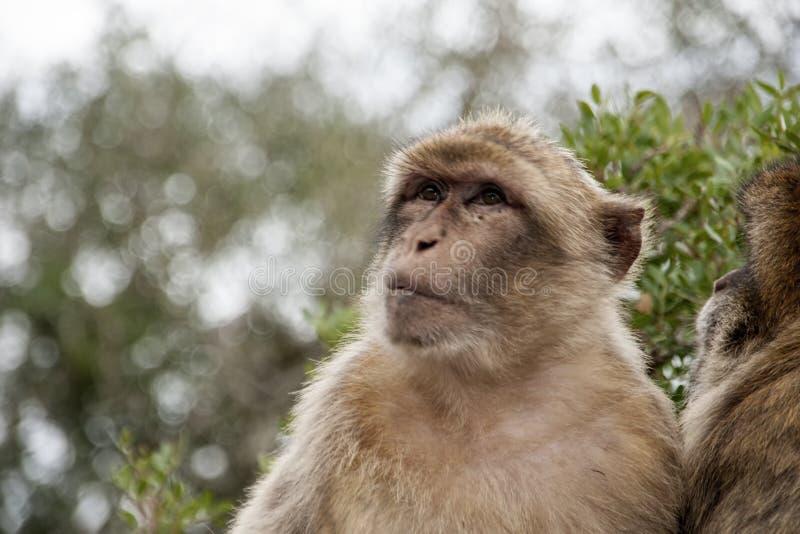 Известная обезьяна утеса Гибралтара стоковые изображения rf