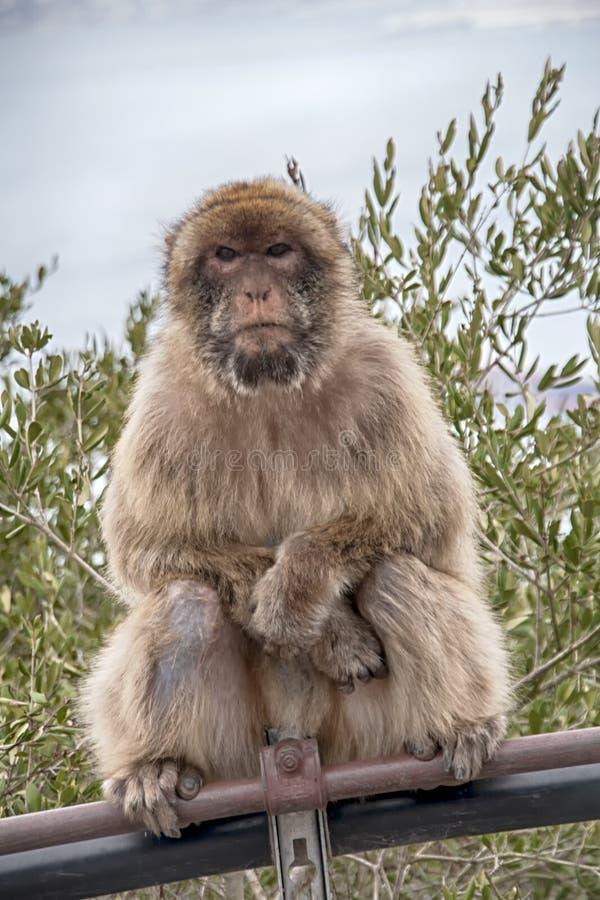 Известная обезьяна утеса Гибралтара стоковые фото