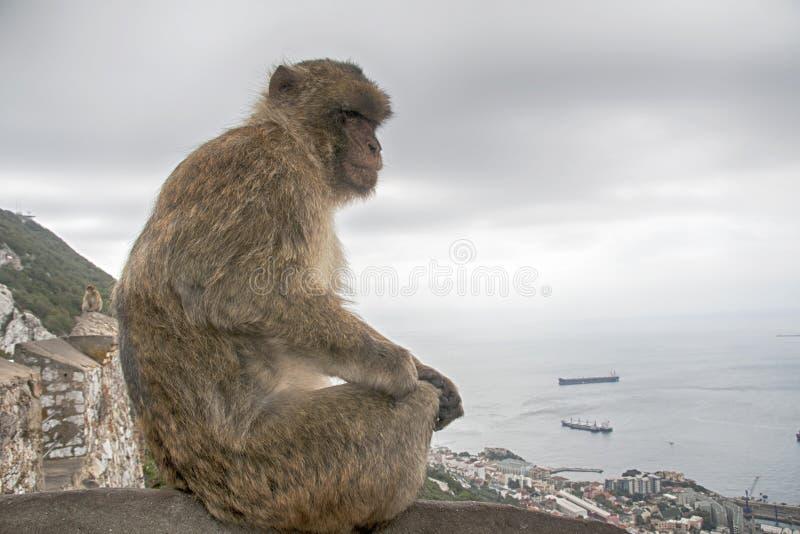 Известная обезьяна утеса Гибралтара стоковые изображения
