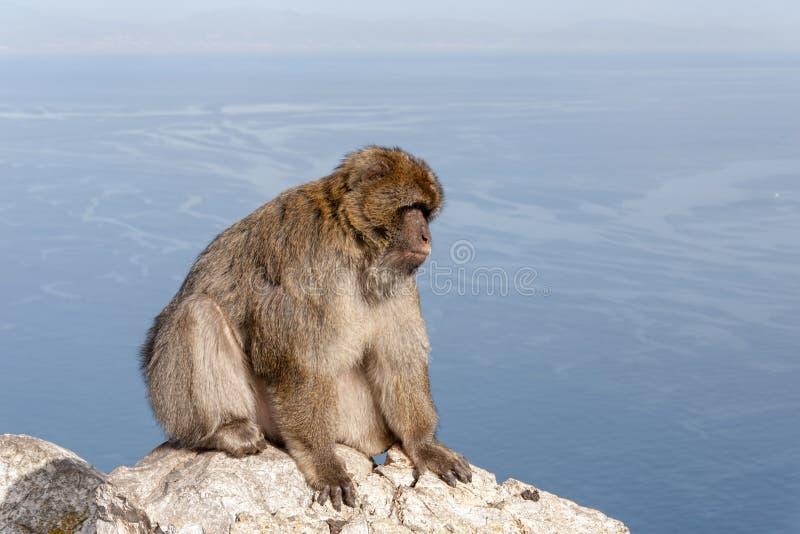 Известная обезьяна утеса Гибралтара стоковое изображение