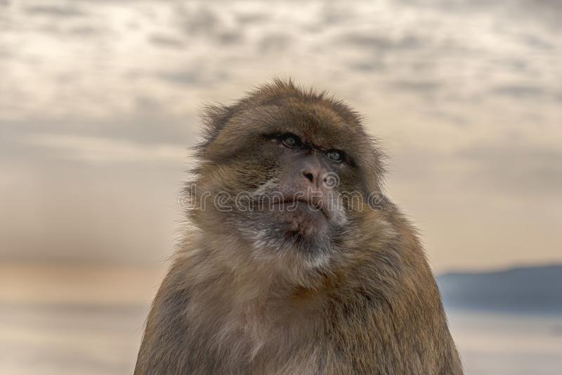 Известная обезьяна утеса Гибралтара стоковое фото rf