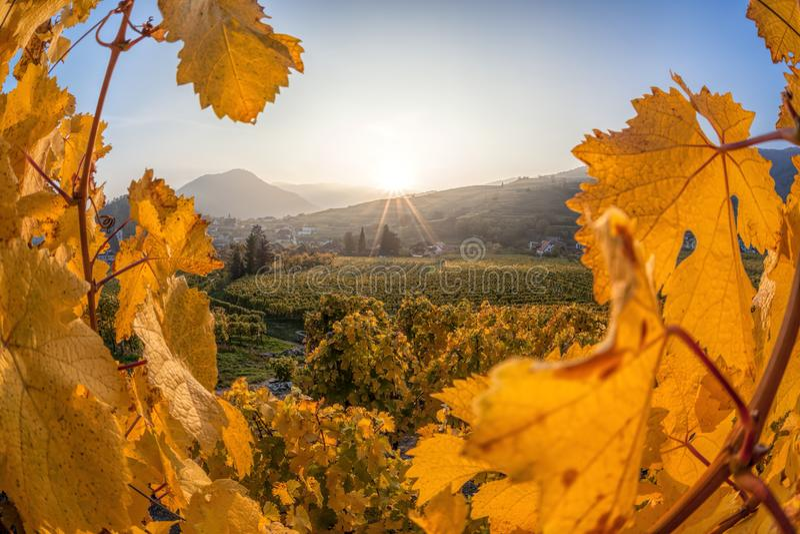Известные виноградники в Wachau, шпице, Австрии стоковое изображение rf
