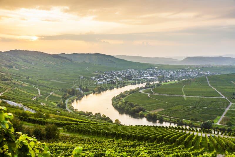 Известный Sinuosity Мозель с виноградниками стоковое фото rf