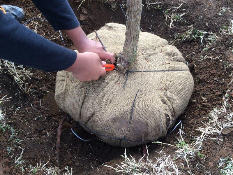 Извлекать обруч мешковины вокруг заново засаженного дерева стоковая фотография