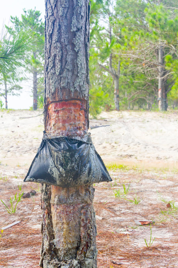 Извлечение сока elliottii Pinus на озере dos Patos Lagoa стоковые фото