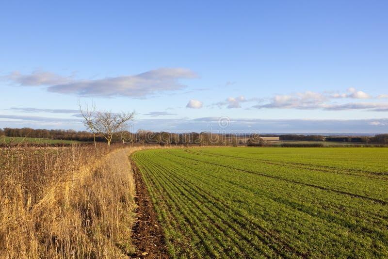 Изгибать пшеничное поле стоковая фотография rf