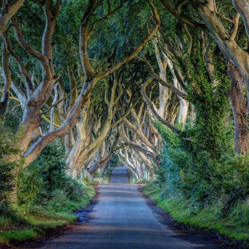 Изгороди темноты, ландшафт Ирландии стоковая фотография rf
