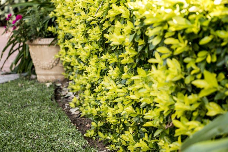 Изгородь желтого зеленого цвета стоковые изображения rf