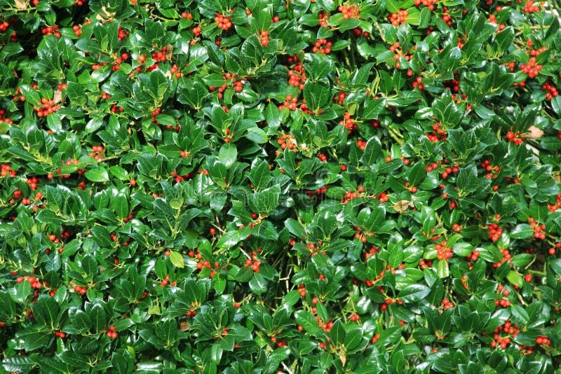 Изгородь куста падуба с ягодами стоковое фото rf