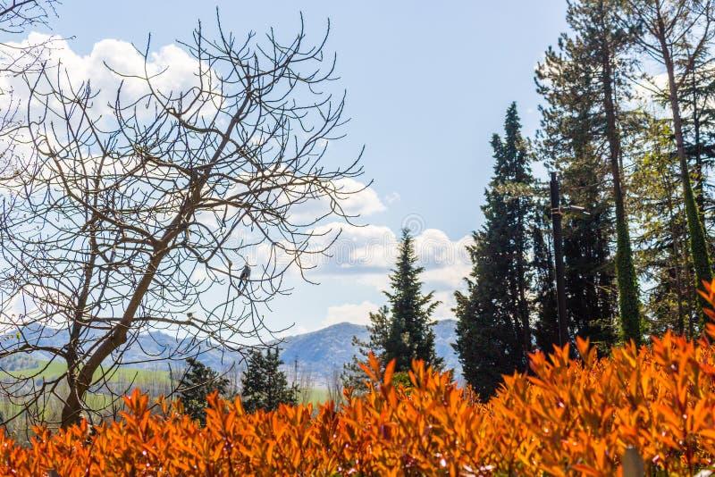 Изгородь робина Photinia красная стоковые изображения rf