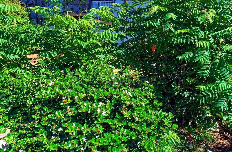 Излучающие зеленые кусты с белыми цветками стоковая фотография rf