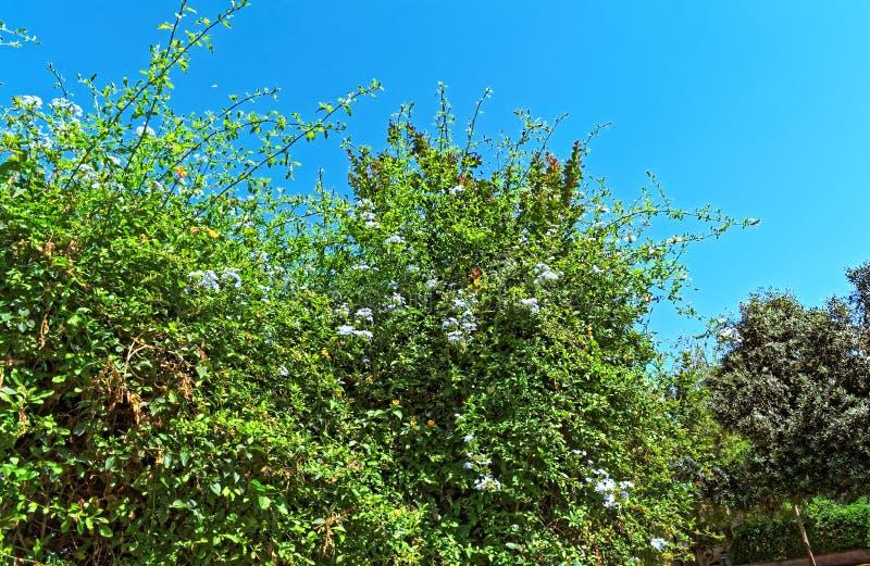 Излучающий гигантский куст с цветками и голубым небом стоковое фото rf