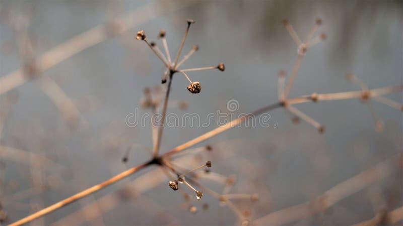 Изменение концепции сезонов: увяданные стержни над замороженными ледистыми рекой или озером в последней осени или предыдущей зиме стоковые изображения