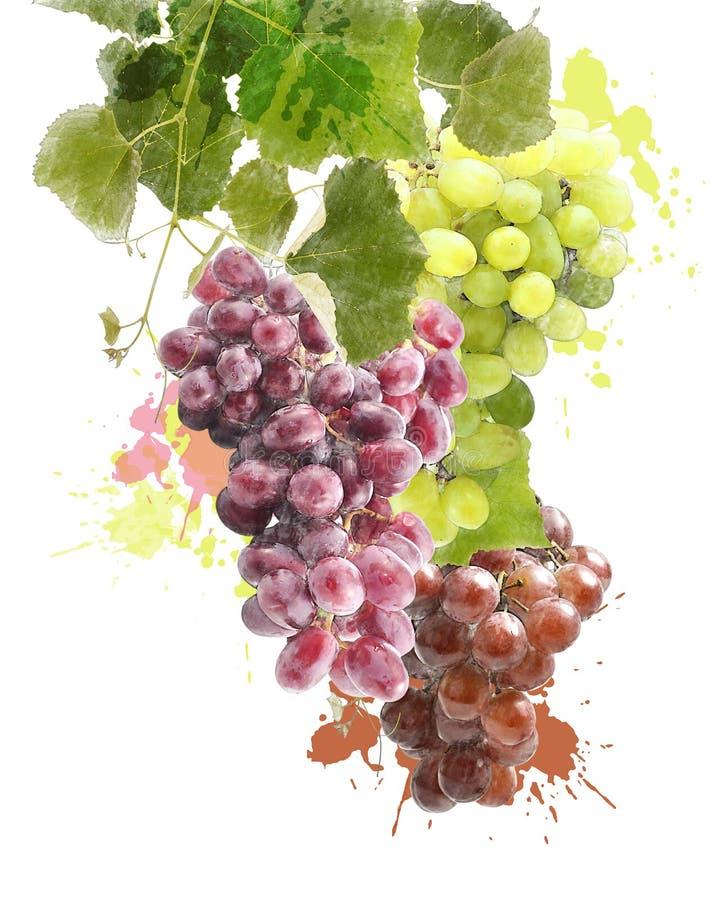 Изображение акварели виноградин иллюстрация штока