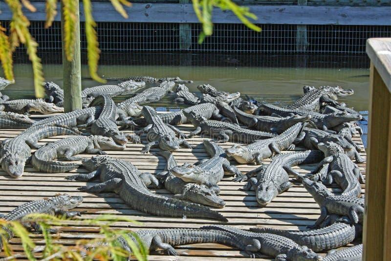 Группа в составе аллигаторы стоковая фотография rf