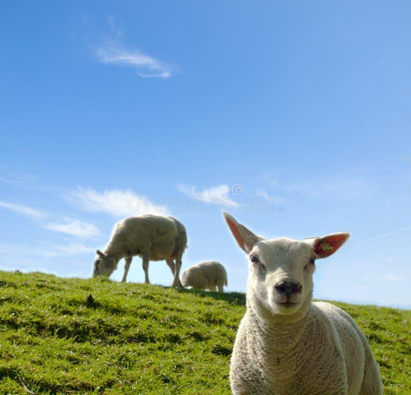 Изображение весны молодой овечки с овцами матери стоковое изображение rf