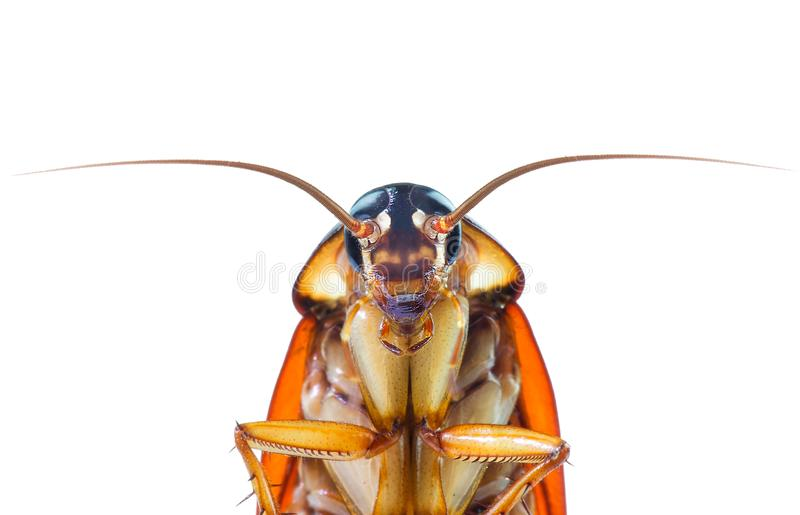 Изображение действия тараканов, тараканов изолированных на белой предпосылке стоковая фотография