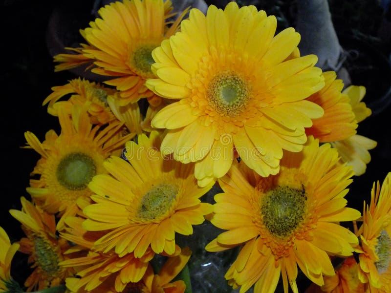 Изображение желтых цветков георгина стоковое фото