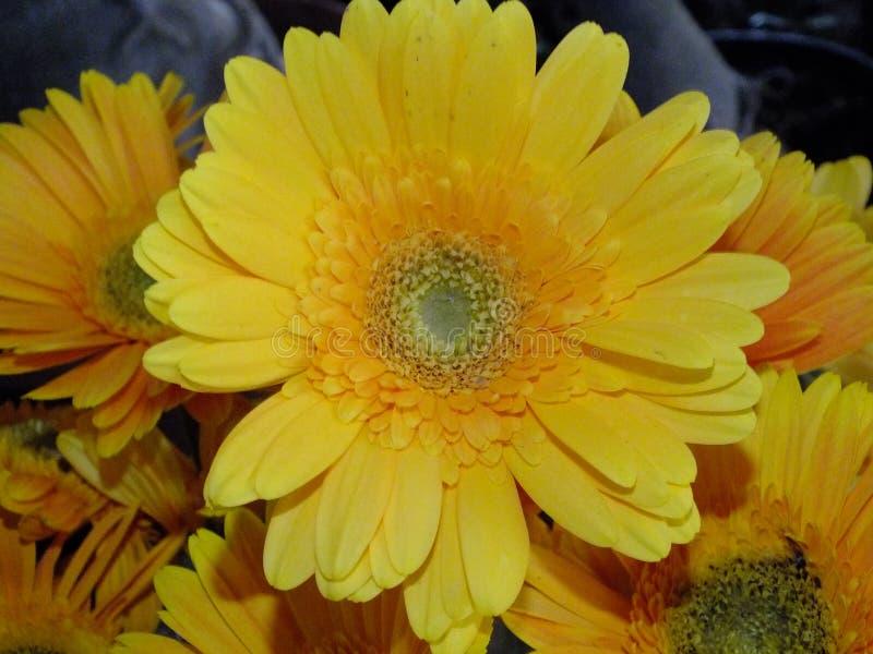 Изображение желтых цветков георгина стоковое фото rf