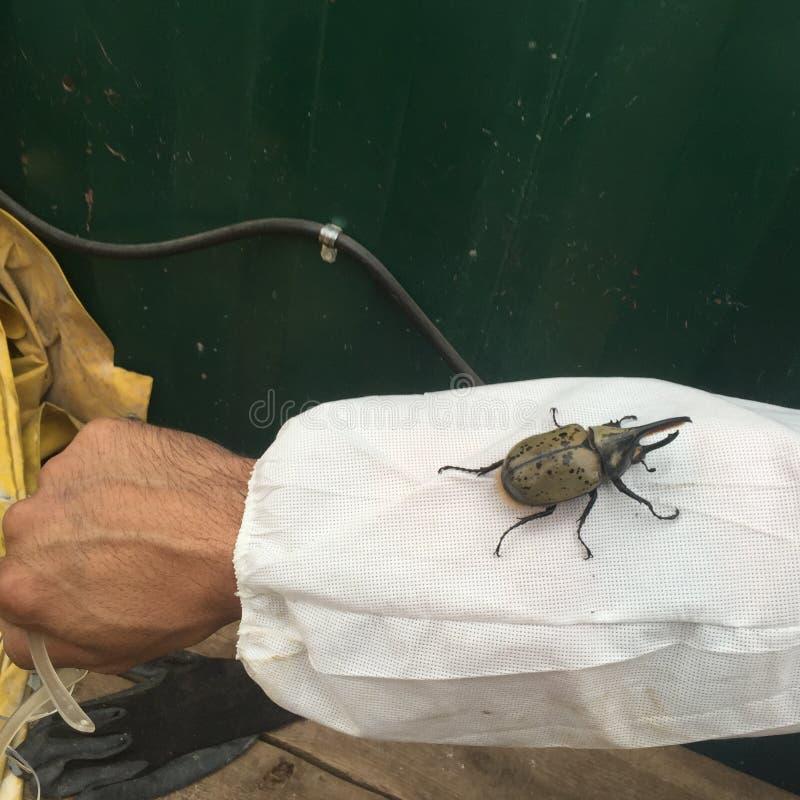 Изображение жука Геркулес стоковые фотографии rf