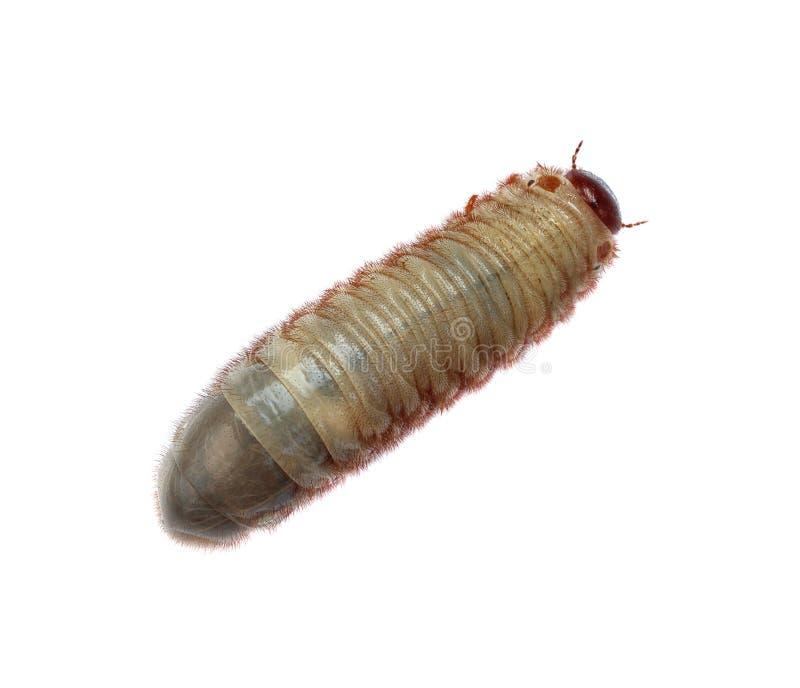 Изображение жука червя стоковая фотография rf