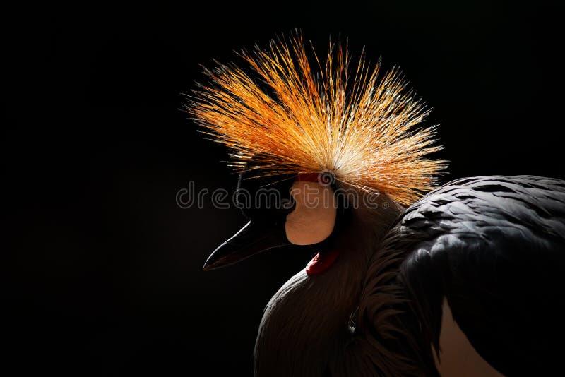Изображение искусства птицы Серый цвет увенчал кран, regulorum Balearica, с темной предпосылкой Голова птицы с гребнем золота в к стоковые фото