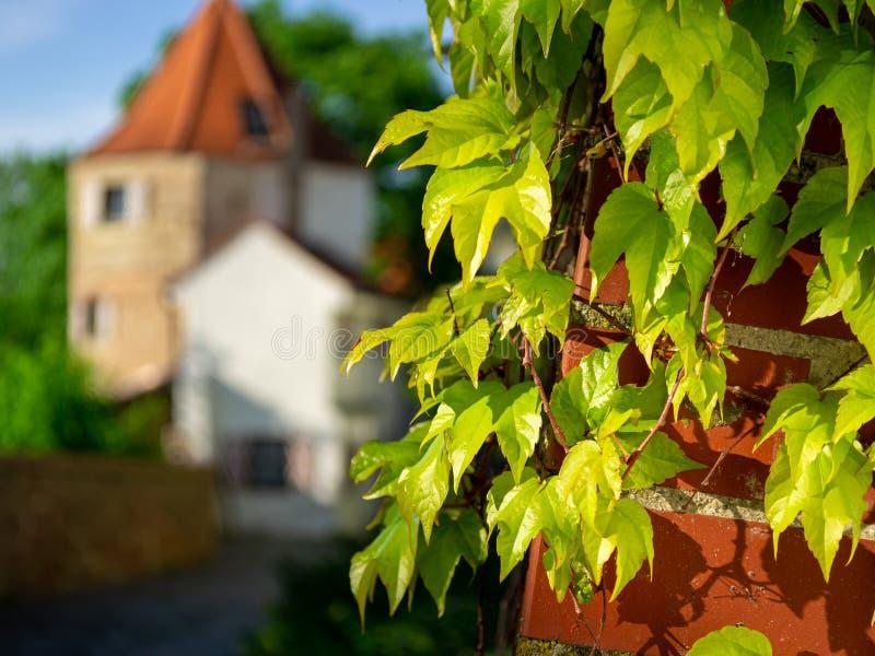 Изображение кирпичной стены покрытое с дикими виноградинами лозы стоковое фото rf