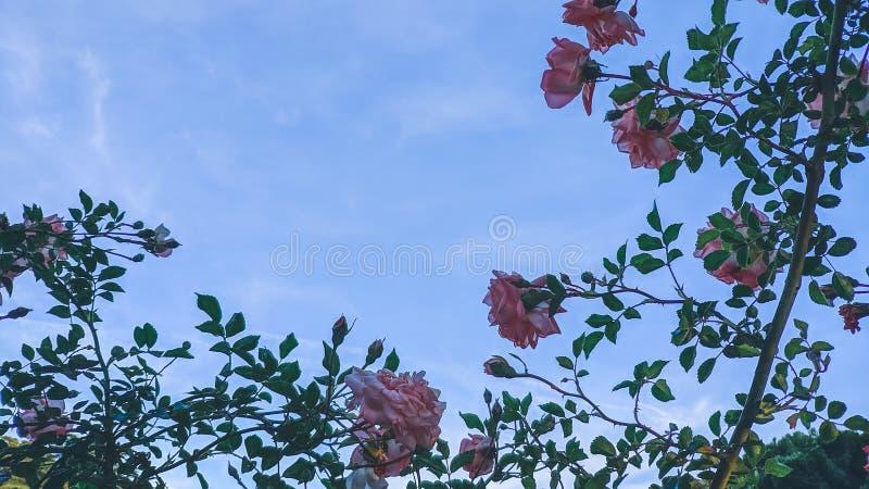 Изображение конца-вверх красивых роз стоковая фотография rf