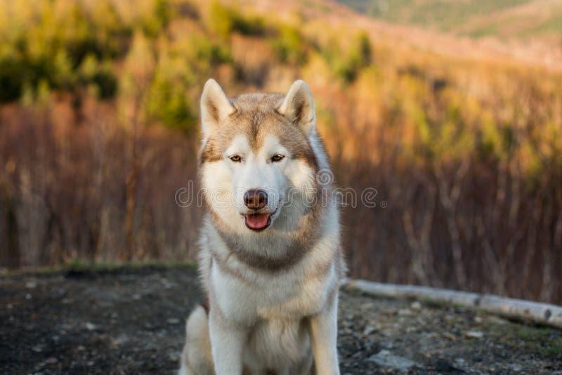 Изображение конца-вверх свободной бежевой и белой собаки сибирской лайки сидя в лесе на заходе солнца на предпосылке гор стоковое фото