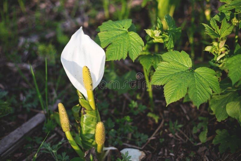 Изображение красивого одичалого ядовитого белого цветка вызвало сезон palustris Calla весной стоковые изображения rf