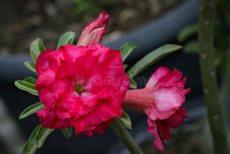 Изображение красивой красной азалии цветет в саде стоковое изображение