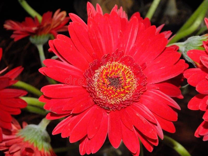 Изображение красных цветков георгина стоковые фото