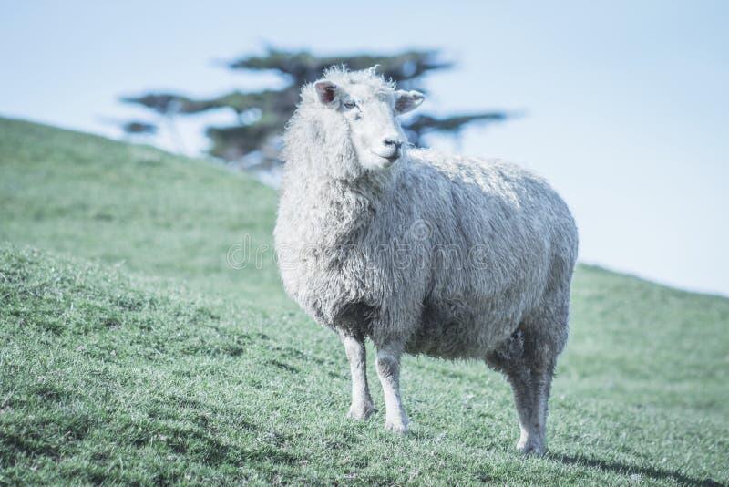 Изображение крупного плана овцы на ферме стоковая фотография rf