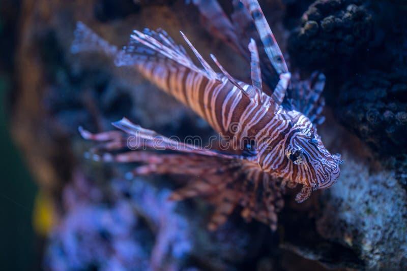 Изображение крылатка-зебры на окружающей среде кораллового рифа стоковое фото rf