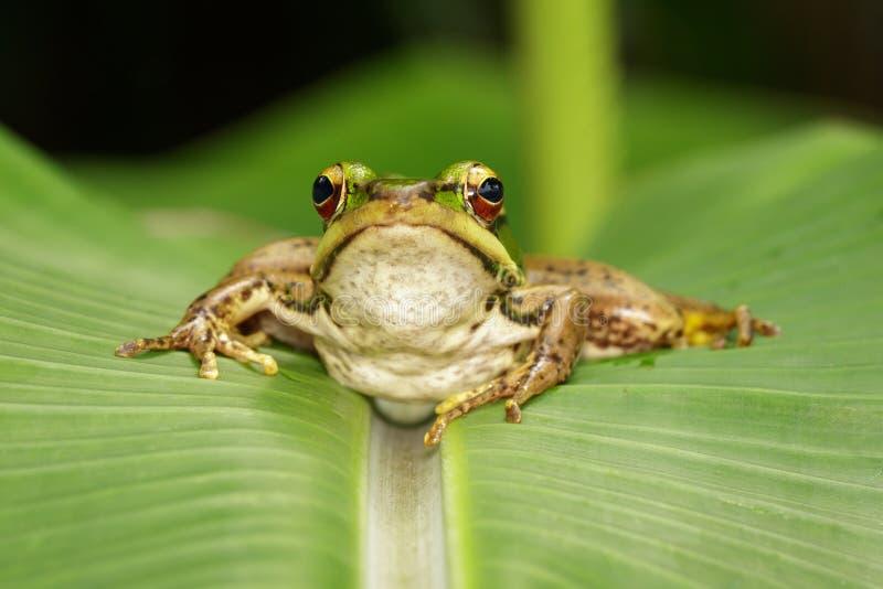 Изображение лягушки рисовых полей зеленой или зеленого erythraea Раны лягушки падиа на зеленых лист Лодкамиамфибия r стоковое фото rf