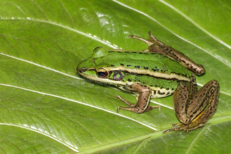 Изображение лягушки рисовых полей зеленой или зеленого erythraea Раны лягушки падиа на зеленых лист Лодкамиамфибия r стоковая фотография rf