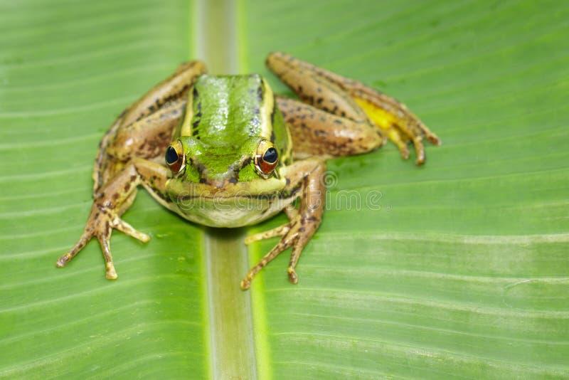Изображение лягушки рисовых полей зеленой или зеленого erythraea Раны лягушки падиа на зеленых лист Лодкамиамфибия r стоковые изображения