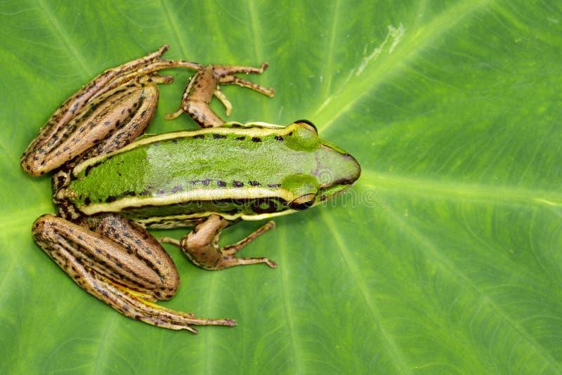 Изображение лягушки рисовых полей зеленой или зеленого erythraea Раны лягушки падиа на зеленых лист Лодкамиамфибия r стоковые фотографии rf
