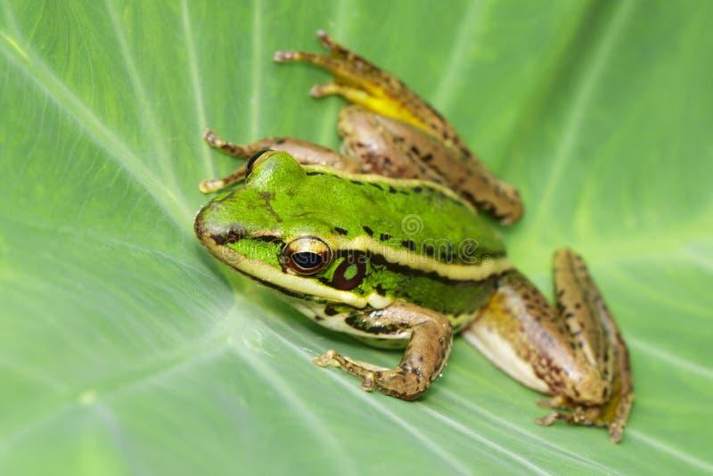 Изображение лягушки рисовых полей зеленой или зеленого erythraea Раны лягушки падиа на зеленых лист Лодкамиамфибия r стоковое изображение rf