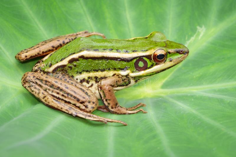 Изображение лягушки рисовых полей зеленой или зеленого erythraea Раны лягушки падиа на зеленых лист Лодкамиамфибия r стоковое фото