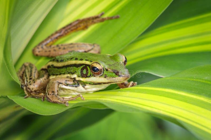 Изображение лягушки рисовых полей зеленой или зеленого erythraea Раны лягушки падиа на зеленых лист Лодкамиамфибия r стоковые фото