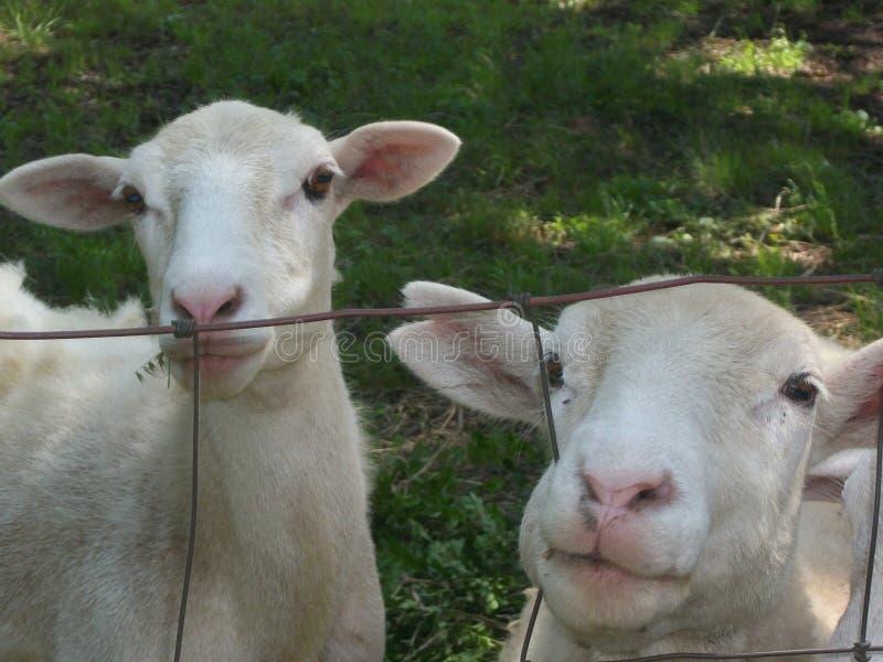 Изображение некоторых овец стоковое фото rf